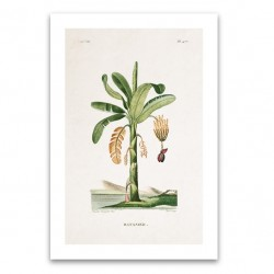 Affiche botanique - Bananier