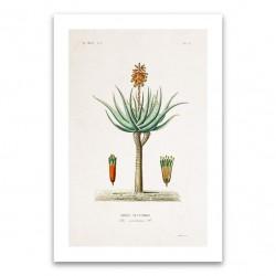 Affiche botanique - Aloé