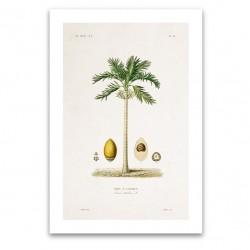 Affiche botanique - Palmier Arec