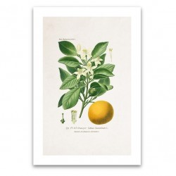 Affiche botanique - Oranger
